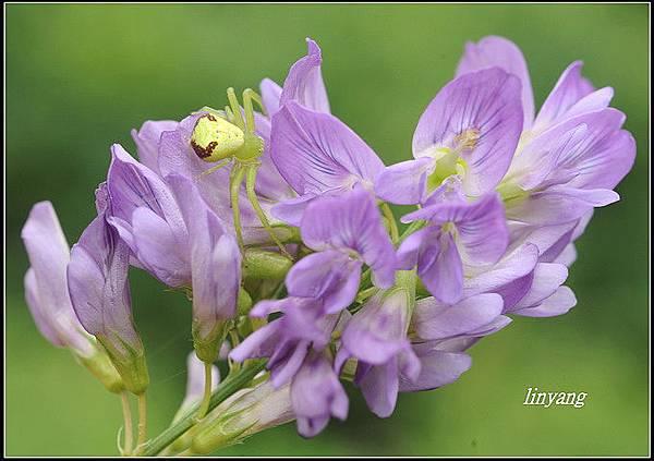 紫花苜蓿 (5)