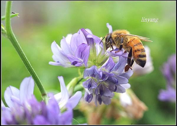 紫花苜蓿 (7)