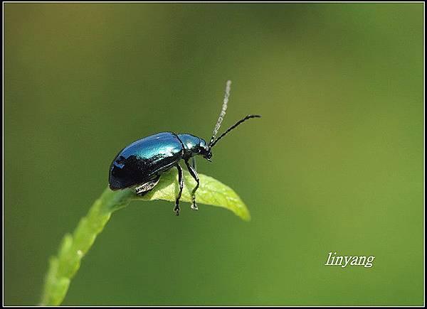 藍金花蟲 (1)_調整大小.JPG