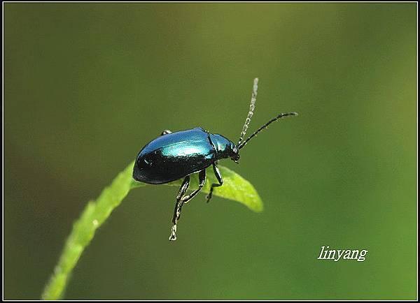 藍金花蟲 (2)_調整大小.JPG