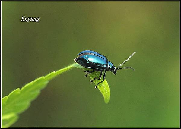 藍金花蟲 (4)_調整大小.JPG