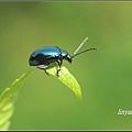 藍金花蟲 (6)_調整大小.JPG