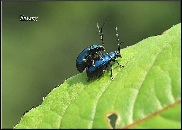 藍金花蟲 (9)_調整大小.JPG