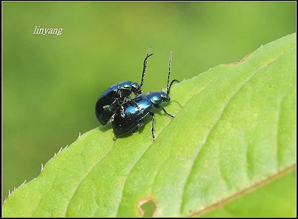 藍金花蟲 (11)_調整大小.JPG