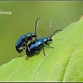 藍金花蟲 (10)_調整大小.JPG
