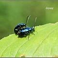 藍金花蟲 (12)_調整大小.JPG