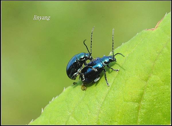 藍金花蟲 (13)_調整大小.JPG