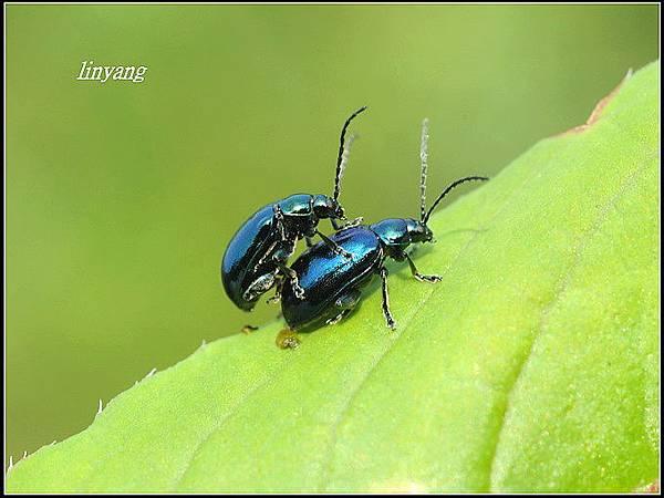 藍金花蟲 (14)_調整大小.JPG