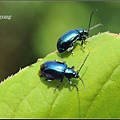 藍金花蟲 (15)_調整大小.JPG