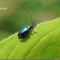 藍金花蟲 (16)_調整大小.JPG