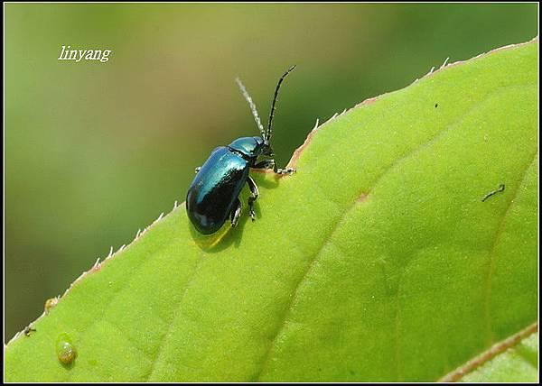 藍金花蟲 (17)_調整大小.JPG