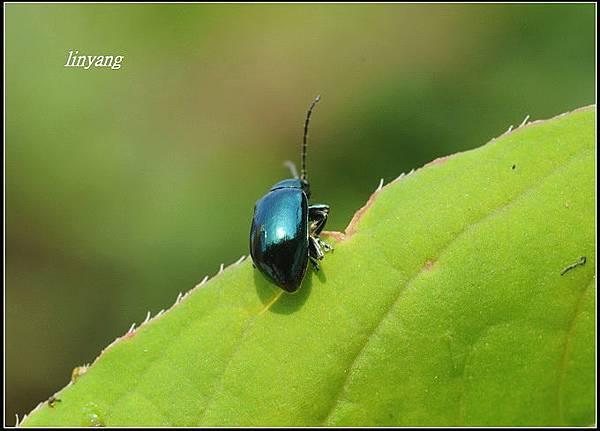 藍金花蟲 (18)_調整大小.JPG