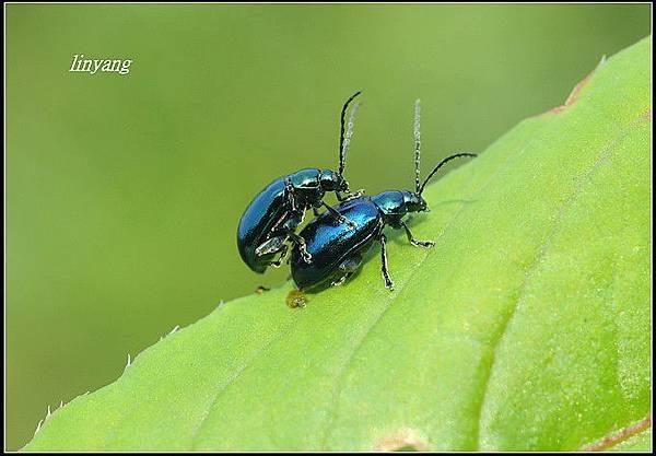 藍金花蟲 (20)_調整大小.JPG