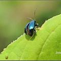 藍金花蟲 (22)_調整大小.JPG