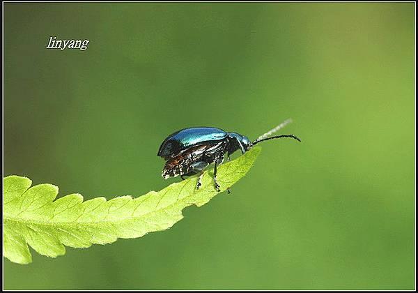藍金花蟲 (23)_調整大小.JPG