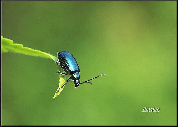 藍金花蟲 (24)_調整大小.JPG