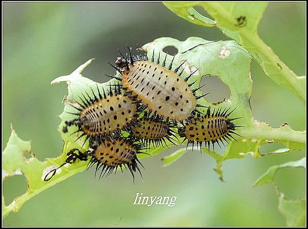大黑星龜金花蟲 (1).JPG