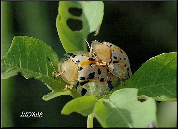 大黑星龜金花蟲 (2).JPG