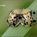 大黑星龜金花蟲 (3).JPG
