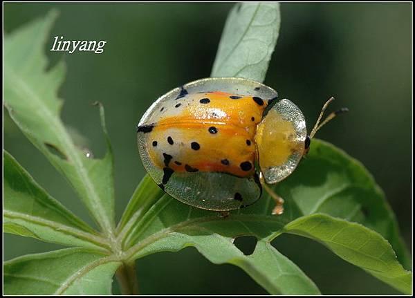 大黑星龜金花蟲 (4).JPG