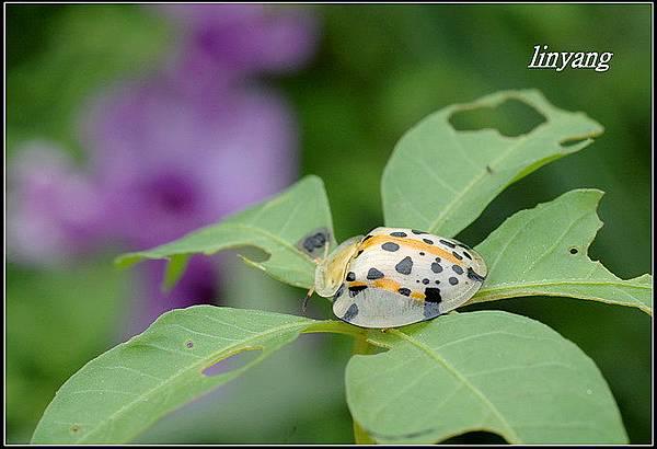 大黑星龜金花蟲 (10).JPG
