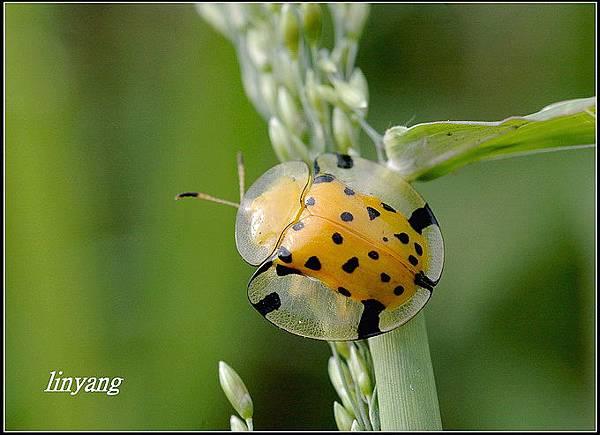 大黑星龜金花蟲 (25).JPG