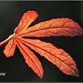 紫葵20081203 (47)_調整大小.JPG