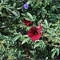 紫葵-1 (3)_調整大小.JPG