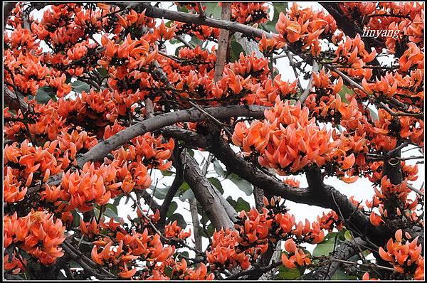 膠蟲樹 (1).JPG