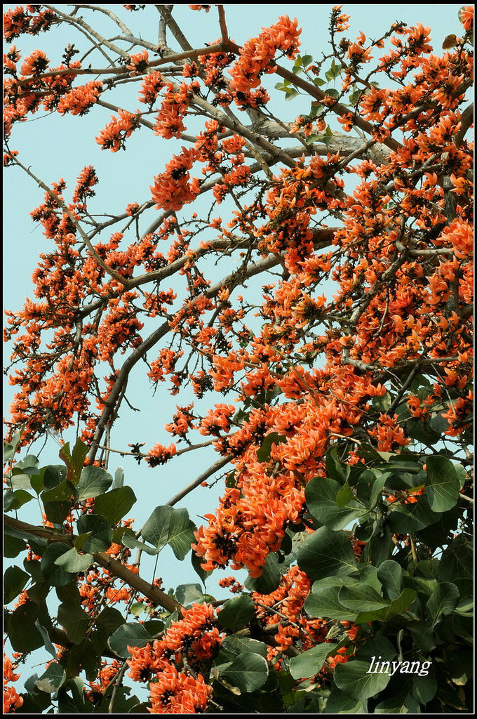 膠蟲樹 (4).JPG