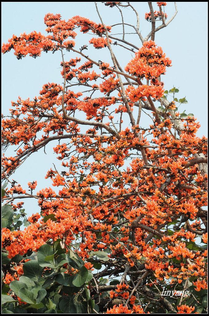膠蟲樹 (5).JPG