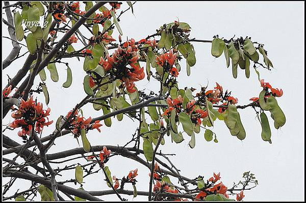 膠蟲樹 (6).JPG