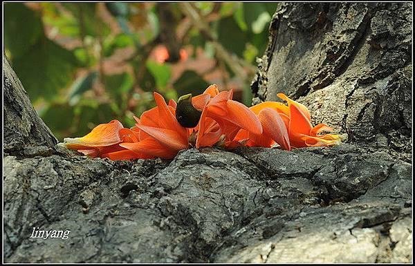 膠蟲樹 (8).JPG