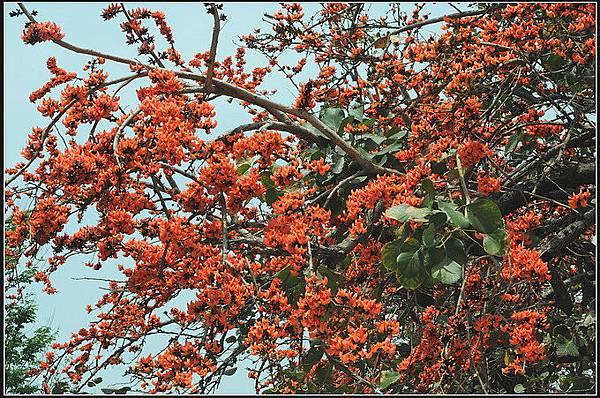 膠蟲樹 (22).JPG