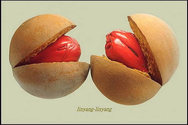 蘭嶼肉豆蔻 (3)_調整大小.JPG