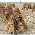 芝麻採收 (2)