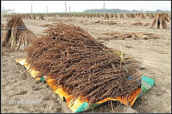 芝麻採收 (3)