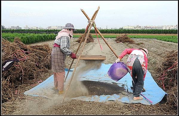 芝麻採收 (4)