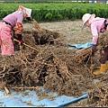 芝麻採收 (5)