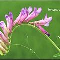 多花野豌豆2011_調整大小.JPG