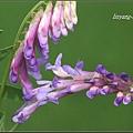 多花野豌豆20100425 (3)_調整大小.JPG