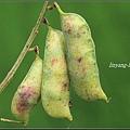 多花野豌豆20100425 (4)_調整大小.JPG