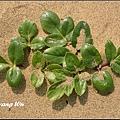 珊瑚菜 (1)_調整大小.jpg