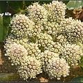 珊瑚菜 (3)_調整大小.jpg