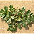 珊瑚菜 (38)_調整大小.jpg