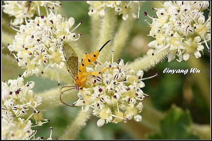 松毛蟲黑點瘤姬蜂 Xanthopimpla pedator Fabriciusjpg (3)_調整大小
