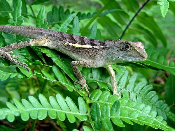 DSC03857s斯文豪氏攀木蜥蜴