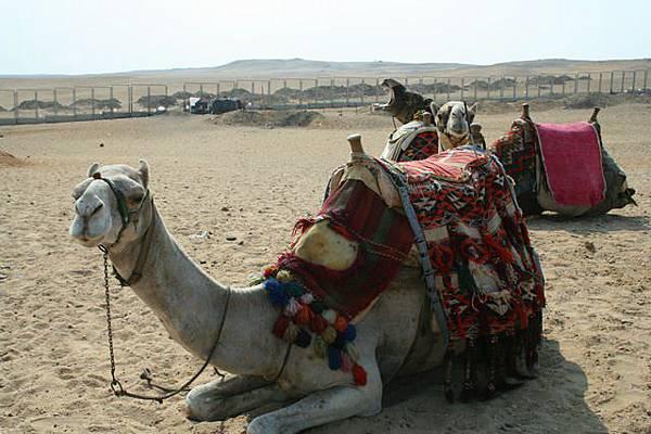 駱駝乖巧地坐下休息