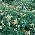赤柯山-小瑞士前的花海