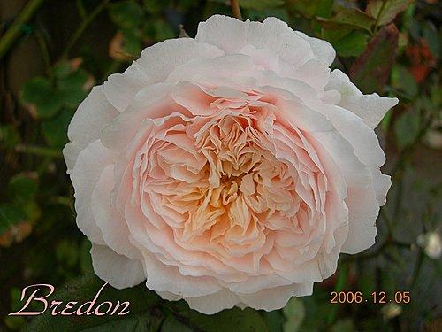 2006年晩秋~入冬園裡最後的薔薇